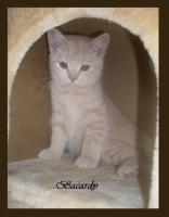 Foto 2 BKH Kitten in Creme