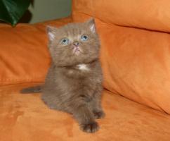 Foto 2 BKH Kitten in Farbe Schoko und Schwarz