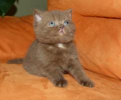 Foto 3 BKH Kitten in Farbe Schoko und Schwarz