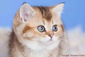 BKH Kitten in Farbe black silver shaded und black golden ticked tabby