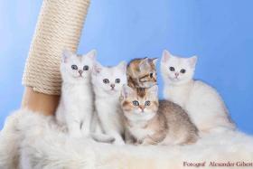 Foto 2 BKH Kitten in Farbe black silver shaded und black golden ticked tabby