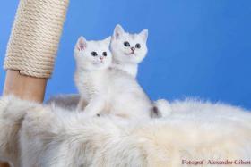 Foto 3 BKH Kitten in Farbe black silver shaded und black golden ticked tabby