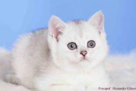 Foto 4 BKH Kitten in Farbe black silver shaded und black golden ticked tabby