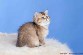 Foto 5 BKH Kitten in Farbe black silver shaded und black golden ticked tabby