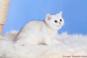 Foto 7 BKH Kitten in Farbe black silver shaded und black golden ticked tabby