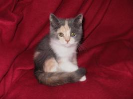 BKH Kitten Mädchen 12 Wochen alt sucht ein liebevolles zuhause