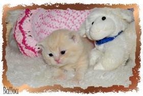 Foto 2 BKH Kitten mit Stammbaum