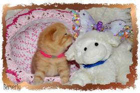 Foto 3 BKH Kitten mit Stammbaum
