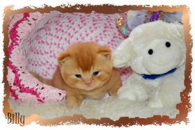 Foto 4 BKH Kitten mit Stammbaum