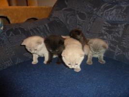 Foto 6 BKH Kitten mit Stammbaum in black - blue - lilac