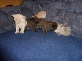 Foto 7 BKH Kitten mit Stammbaum in black - blue - lilac