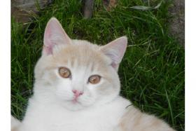 BKH Kitten mit Stammbaum suchen Kuschelpatz