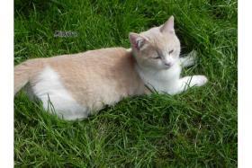 Foto 2 BKH Kitten mit Stammbaum suchen Kuschelpatz