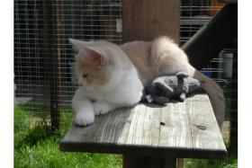 Foto 3 BKH Kitten mit Stammbaum suchen Kuschelpatz