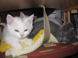 BKH-Kitten ab sofort abzugeben