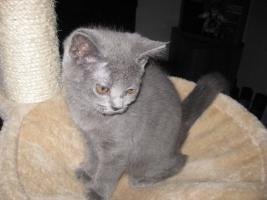 Foto 3 BKH-Kitten ab sofort abzugeben