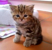 Foto 3 BKH Kitten abzugeben Whiskas Britisch Kurzhaar