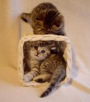 Foto 4 BKH Kitten abzugeben Whiskas Britisch Kurzhaar