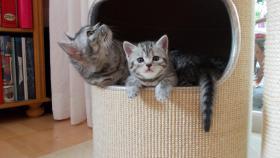 Foto 5 BKH Kitten abzugeben Whiskas Britisch Kurzhaar