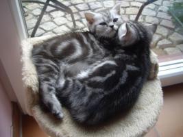 Foto 6 BKH Kitten abzugeben Whiskas Britisch Kurzhaar