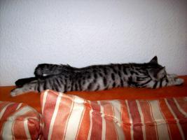 BKH Kitten in black-silver und black-silver-tabby-spotted