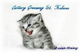 Foto 2 BKH Kitten in black-silver und black-silver-tabby-spotted