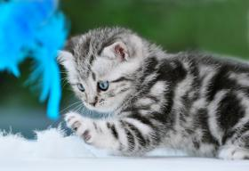 BKH Kitten in black-silver-tabby ''Whiskaskatzen''