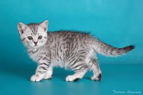 BKH Kitten in blau Tabby
