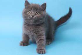 Foto 2 BKH Kitten in blau Tabby