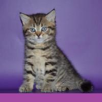 Foto 3 BKH Kitten in blau Tabby