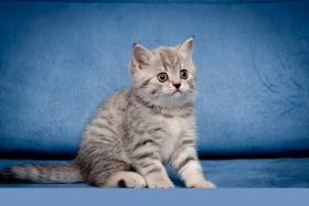 Foto 4 BKH Kitten in blau Tabby