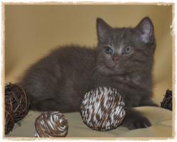 BKH-Kitten cinnamon