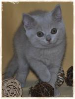 Foto 2 BKH-Kitten cinnamon
