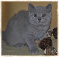 Foto 3 BKH-Kitten cinnamon