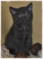 Foto 4 BKH-Kitten cinnamon