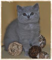 Foto 6 BKH-Kitten cinnamon