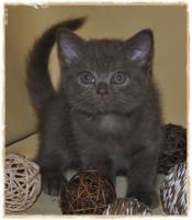 Foto 7 BKH-Kitten cinnamon
