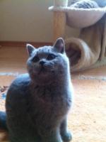 BKH Kitten haben ihr Köfferchen gepackt und suchen Pflegepersonal
