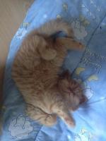 Foto 3 BKH Kitten haben ihr Köfferchen gepackt und suchen Pflegepersonal