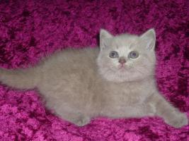 *** BKH Kitten in lilac !!! ***