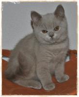 Foto 2 BKH Kitten lilac fawn