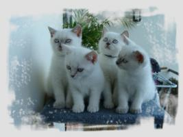 BKH-Kitten in lilac-point und lilac-tabby-point