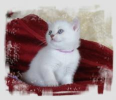 Foto 5 BKH-Kitten in lilac-point und lilac-tabby-point