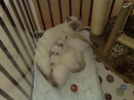 BKH-Kitten in lilac point m.P. aus Dresden abzugeben