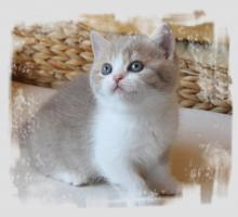 BKH-Kitten in lilac-white und lilac-tabby-white