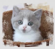 Foto 2 BKH-Kitten in lilac-white und lilac-tabby-white
