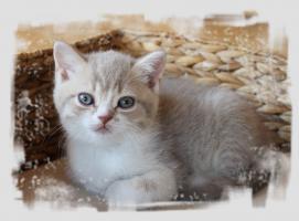 Foto 3 BKH-Kitten in lilac-white und lilac-tabby-white