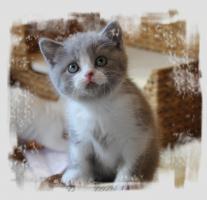 Foto 4 BKH-Kitten in lilac-white und lilac-tabby-white