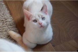 BKH Kitten in point abzugeben