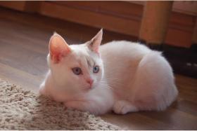 Foto 2 BKH Kitten in point abzugeben